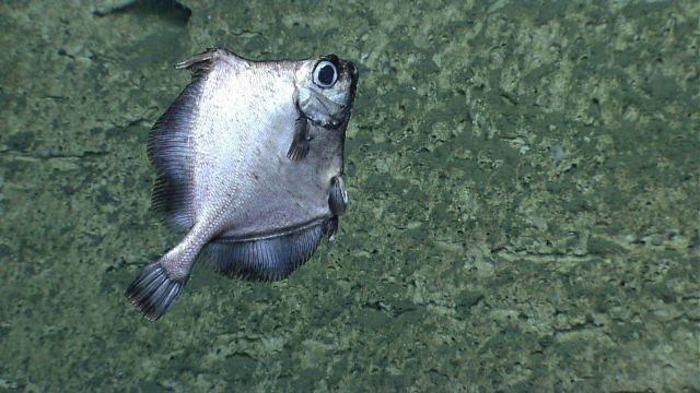 Deep sea fish. False boarfish (Neocyttus helgae) Picture