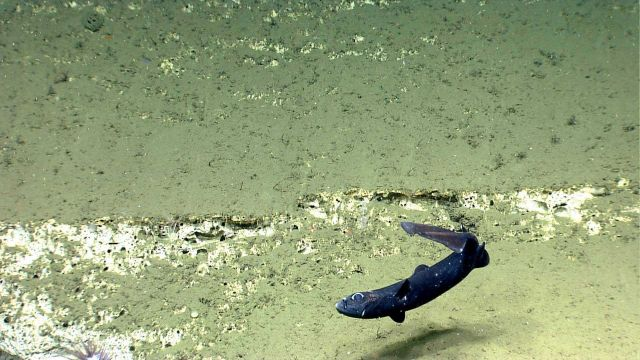 Deep sea fish. Vertical fish that seems to have been attacked Picture