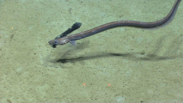 Deep sea fish. Cutthroat eel with fish dinner (probably a dragonfish Stomias sp Picture