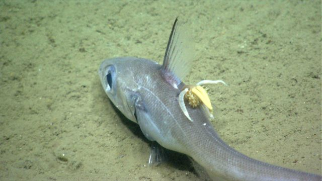 Deep sea fish. A parasitic copepod attached to a grenadier / rattail Picture
