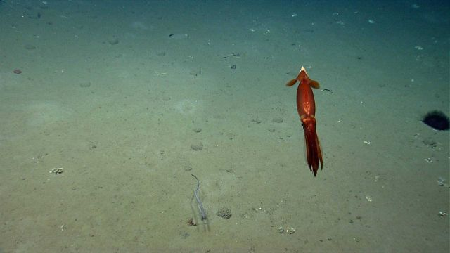 A beautiful iridescent copper-colored squid, a small cutthroat eel, and a large sea urchin on the right. Picture