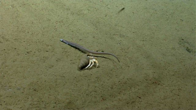 Small cutthroat eel and large hermit crab Picture