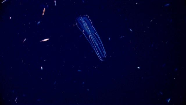 Ctenophore. Picture