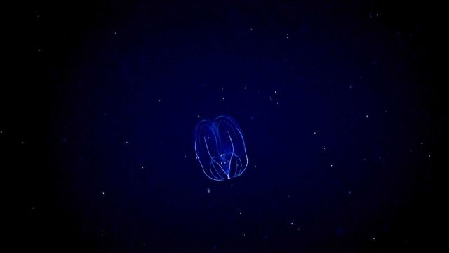 Lobate ctenophore. Picture