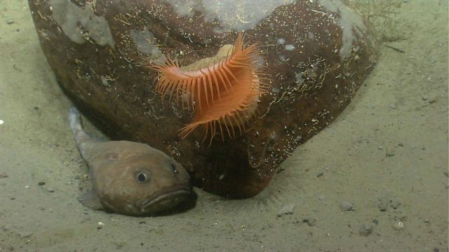 A cottunculus fathead fish next to a boulder with a large orange venus flytrap anemone. Picture