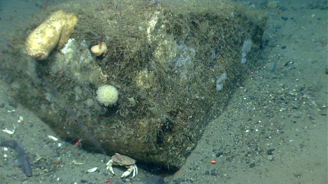 A boulder covered with a number of small sponges and one very large anemone and one smaller one Picture
