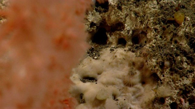 White material, perhaps the base of a coral, small hydroids, and small sponges. Picture