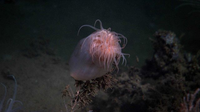 A large peach-colored anemone partially closed. Picture