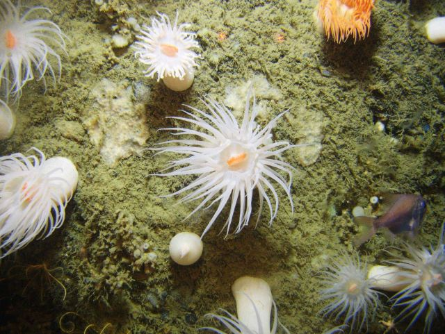 Looking down on large white anemones with orange mouths, an orange roughy, an orange anemone, a white stalked sponge, and a white encrusting sponge. Picture