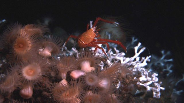Lophelia pertusa coral, large peach-colored anemones, and a large squat lobster. Picture