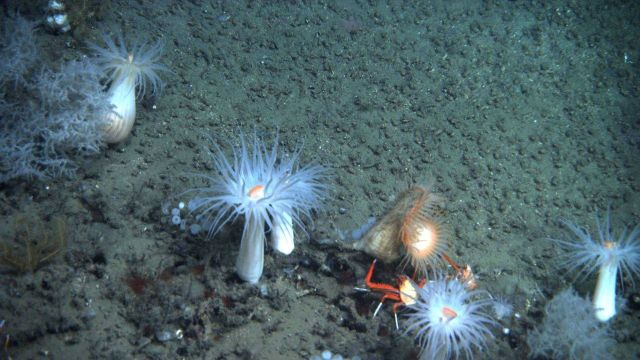 Large white anemones with orange mouths, lollipop sponges, Leiopathes glaberrima coral bushes, a yellow crinoid, an orange and white flytrap anemone,  Picture
