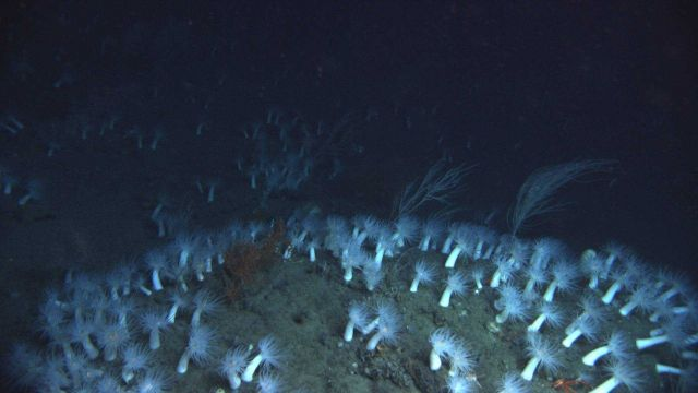 A seeming forest of large white anemones Picture