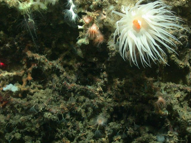 A large white anemone with orange mouth dominates this image but additional biota include small peach colored anemones, tube worms, lophelia pertusa c Picture