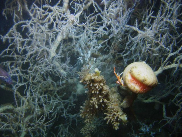 Deep sea coral Picture