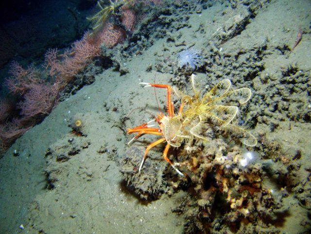 A large yellow and orange feather star crinoid atop a local topographic high, a large squat lobster, a small white anemone, a cup coral, a red soldier Picture