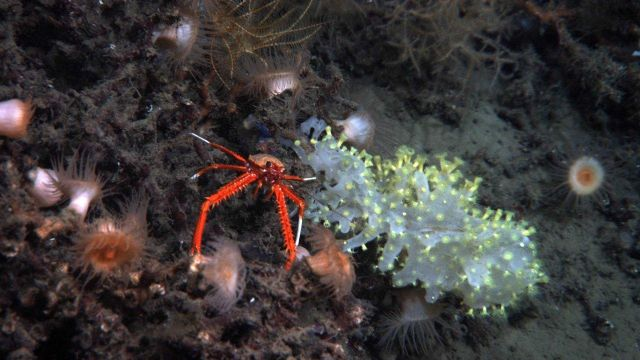 Orange anemones, an orange and white squat lobster, and a glass sponge colonized by yellow zoanthids. Picture