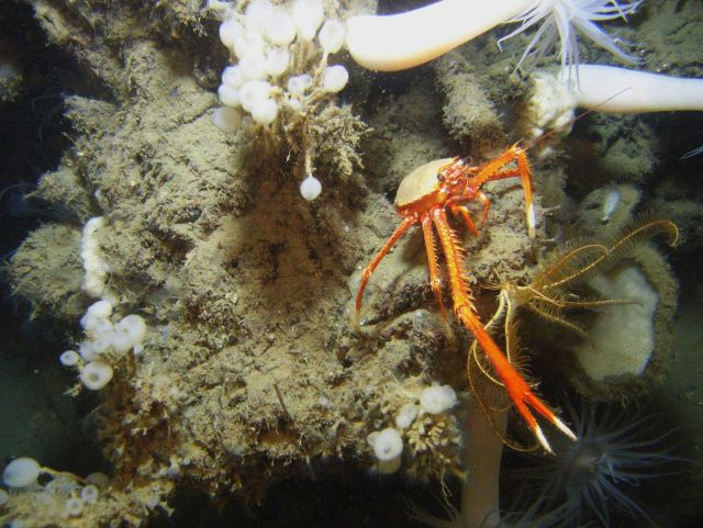 Large white anemones with orange mouth, yellow feather star crinoid, lollipop sponges, and a large orange and white squat lobster with chelae extended Picture