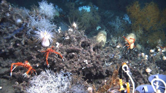 Three large squat lobsters, white Leiopathes glaberrima coral, two large sponges , a large white anemone, and the arms of a number of feather star cri Picture