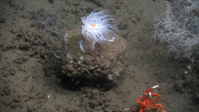 Two squat lobsters fighting? breeding? in foreground in image dominated by large white anemone with orange mouth. Picture