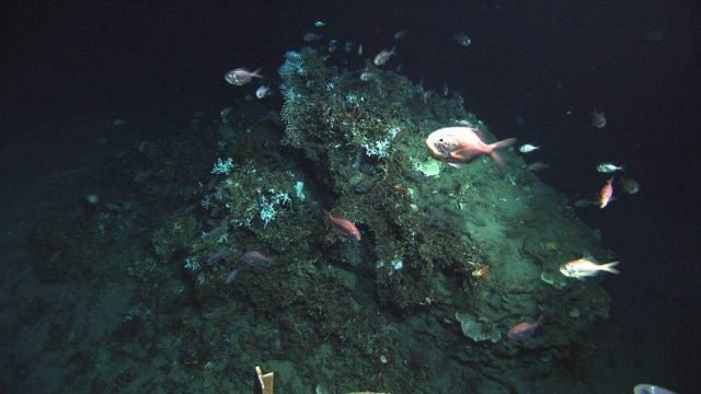 Deep sea fish. A school of Atlantic roughy, Hoplostethus occidentalis, Picture