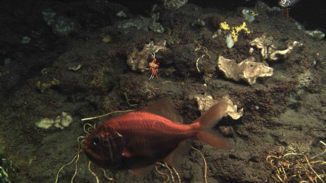 Deep sea fish. An Atlantic roughy, Hoplostethus occidentalis Picture