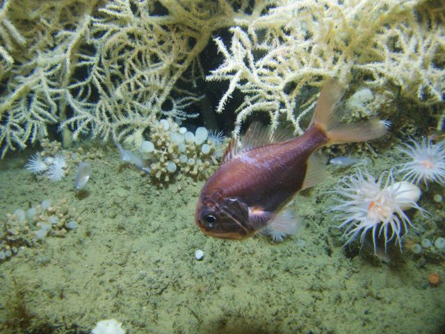An Atlantic roughy, Hoplostethus occidentalis, swims at the base of a large Leiopathes glabberima colony at 300 meters depth in the Northwestern Gulf  Picture