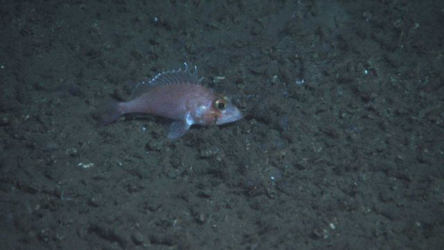 Deep sea fish. Blackbelly rosefish (Helicolenus dactylopterus). Also known as bluemouth rockfish and bluemouth seaperch. Picture