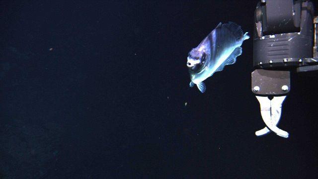 Deep sea fish - Boarfish Picture