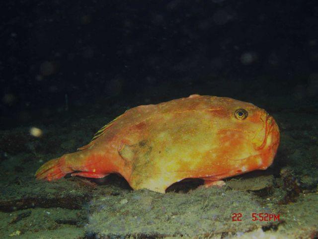 Deep sea fish. A redeye gaper (Chaunax stigmaeus). Picture