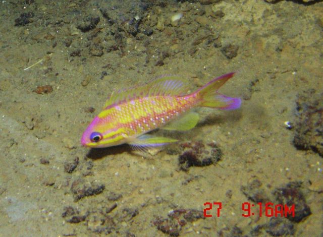 Deep sea fish. Yellowfin bass (Anthias nicholsi). Picture
