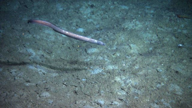A synaphobranchid eel. Picture