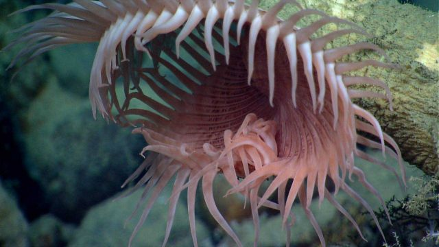 A large venus flytrap anemone. Picture