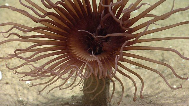 Closeup of a brown cerianthid tube anemone. Picture