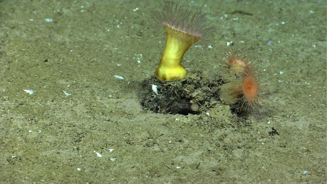 A large white and two smaller orange anemones colonizing a small rock, gaining the benefit of being a bit higher in the water column Picture
