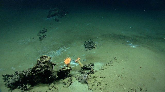 Large orange anemones thriving on a high point near the edge of a brine pool. Picture