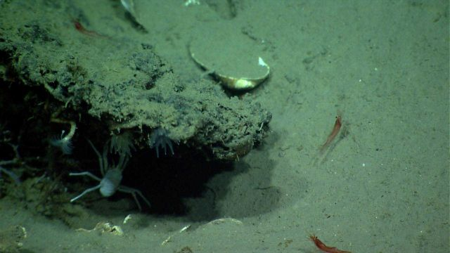 A white squat lobster, various anemones, a tube worm,and red shrimp are seen near a cold seep area. Picture