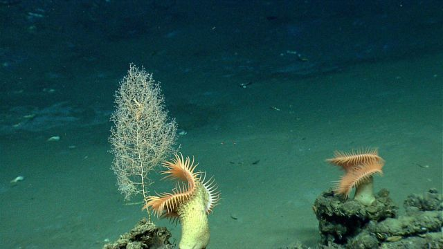 A dainty octocoral bush and two large venus flytrap anemones on a high point near a brine pool. Picture