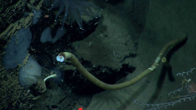 A large Lamellibrachia luymesi tube worm with a smaller feather duster worm below Picture