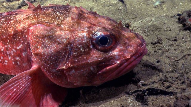 Deep sea fish - spiny scorpionfish or Atlantic thornyhead (Trachyscorpia cristulata cristulata). Picture