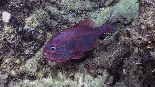 Atlantic roughy (Hoplostethus atlanticus) Picture