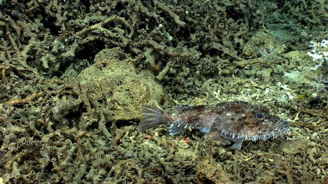 Goosefish on Lophelia pertusa rubble. Picture