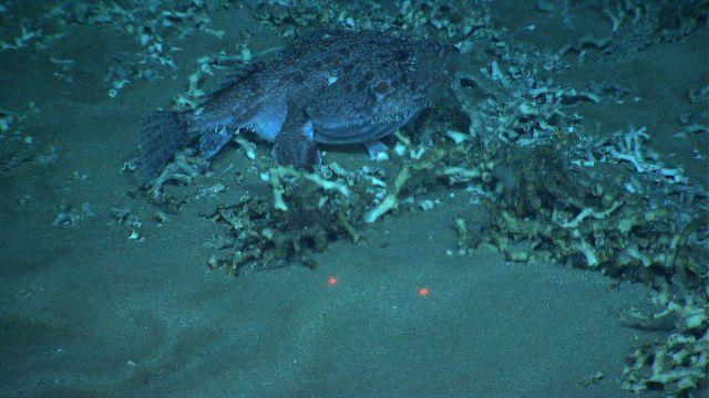 Goosefish Picture
