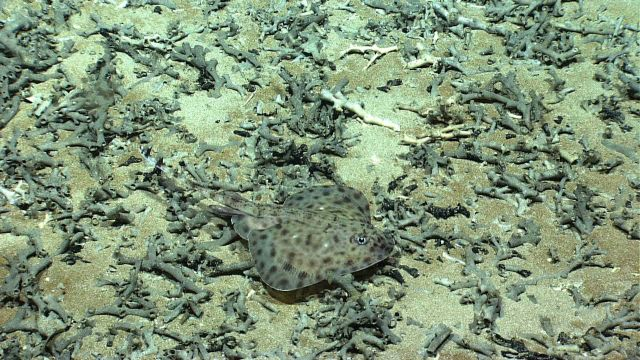 A skate over a bottom of Lophelia pertusa rubble. Picture