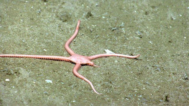 Brittle star regenerating leg. Picture