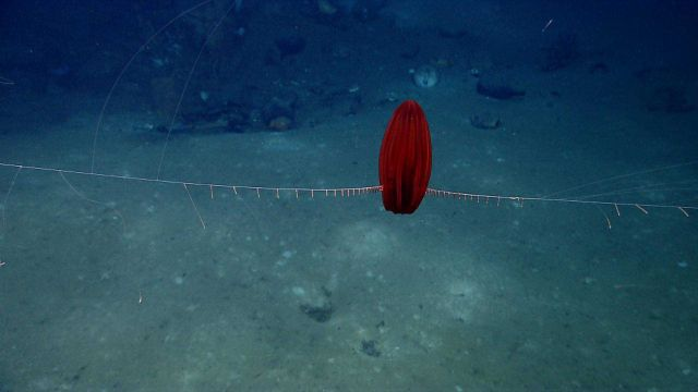 A beautiful red ctenophore with its tentacles extended. Picture