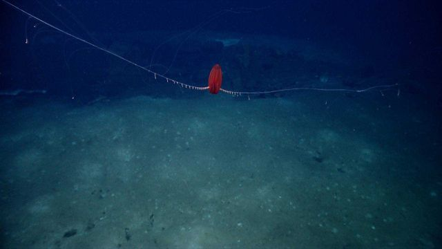 A beautiful red ctenophore with its tentacles extended Picture
