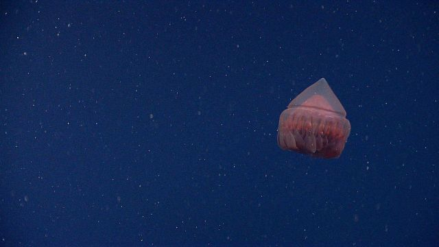 A red conehead jellyfish Picture