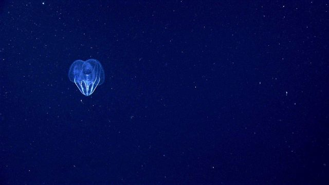 Lobate ctenophore seen from a distance. Picture