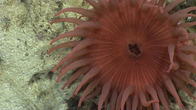 A large pinkish anemone. Picture