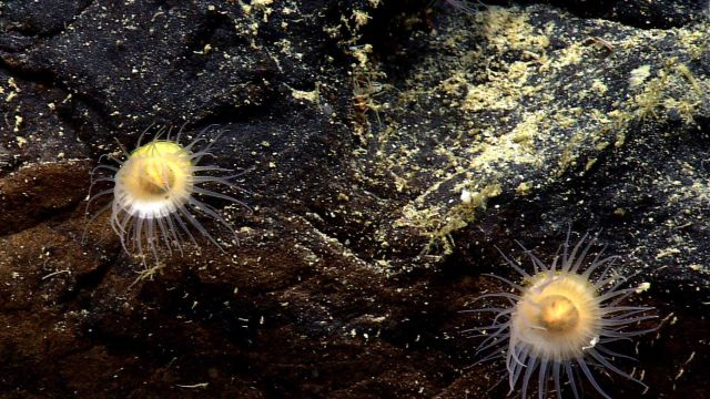 Strange white and yellow anemones with fairly delicate tentacles. Picture